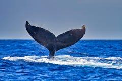 Humpback wieloryb macha swój fuksa przy wielorybimi obserwatorami przy zmierzchem blisko Lahaina na Maui obraz royalty free