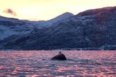 Humpback wieloryb, megaptera novaeangliae, Norwegia obrazy royalty free