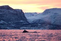 Humpback wieloryb, megaptera novaeangliae, Norwegia obraz royalty free
