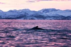 Humpback wieloryb, megaptera novaeangliae, Norwegia obrazy stock