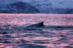 Humpback wieloryb, megaptera novaeangliae, Norwegia zdjęcie royalty free