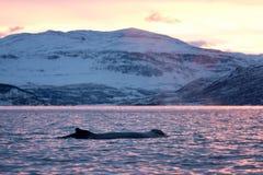 Humpback wieloryb, megaptera novaeangliae, Norwegia fotografia stock