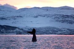 Humpback wieloryb, megaptera novaeangliae, Norwegia zdjęcie stock