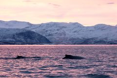Humpback wieloryb, megaptera novaeangliae, Norwegia fotografia royalty free
