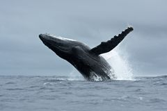 humpback wieloryb, megaptera novaeangliae, Tonga, Vava ` u wyspa fotografia stock