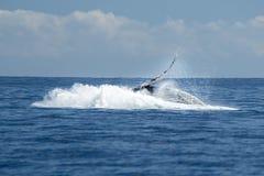 Humpback wieloryb narusza w cabo San Lucas obrazy stock