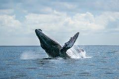 Humpback wieloryb narusza w cabo San Lucas zdjęcie royalty free