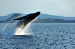 Humpback wieloryb Narusza, Whitsundays, Australia Obraz Stock