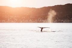 Humpback wieloryb nurkuje ogon i pokazuje w Greenland zdjęcia royalty free