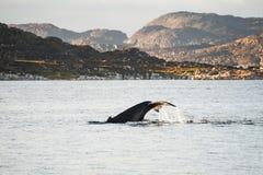 Humpback wieloryb nurkuje pokazywać ogon w Greenland obraz royalty free