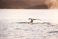 Humpback wieloryb nurkuje pokazywać ogon w Greenland fotografia royalty free
