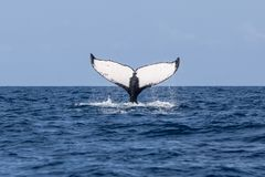 Humpback wieloryb Podnosi fuksa ocean obraz royalty free