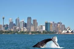 Humpback wieloryb przeciw Sydney linii horyzontu w Nowych południowych waliach Austral zdjęcie stock
