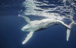 Humpback wieloryb przy powierzchnią obraz stock