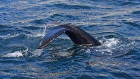 Humpback wieloryb pływa z wybrzeża Husavik Obraz Stock