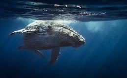 Humpback wieloryb - spotkanie wyspa 2104 Zdjęcia Stock
