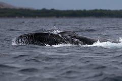Humpback wieloryb spyhopping blisko Lahaina w Hawaje zdjęcie stock