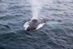Humpback wieloryb w Atlantik zdjęcie royalty free
