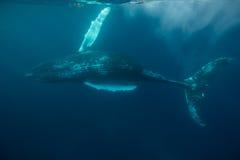 Humpback wieloryb w Atlantyckim oceanie Obrazy Stock