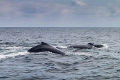Humpback wieloryb w Machalilla parku narodowym obraz stock