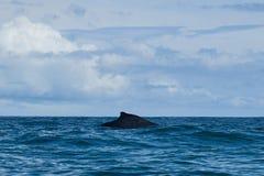 Humpback wieloryb w Pacyficznym oceanie Zdjęcie Royalty Free