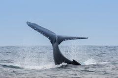 Humpback wieloryb w Puerto Lopez, Ekwador obrazy stock