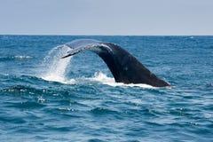 Humpback wieloryb w Puerto Lopez, Ekwador zdjęcia stock
