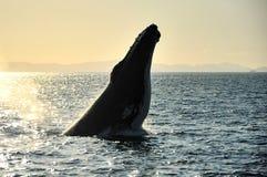 Humpback wieloryb, Whitsundays, Australia Zdjęcie Royalty Free
