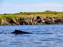 Humpback wieloryb z wybrzeża Bonavista i Labr, wodołaz fotografia stock
