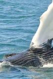 Humpback wieloryb Zamknięty W górę namarszczeń i oka obraz stock