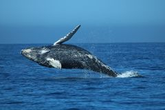 Humpback wieloryba łydka zdjęcia royalty free