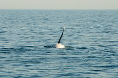 Humpback wieloryba żebro zdjęcie royalty free