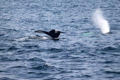 Humpback wieloryba bajka w Atlantyk blisko Boston Zdjęcia Stock