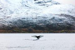 Humpback wieloryba bajki żebro w arktycznym Obrazy Royalty Free