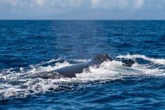 Humpback wieloryba blowhole zdjęcia stock