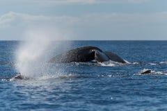 Humpback wieloryba chlustanie lub dmuchanie obraz royalty free