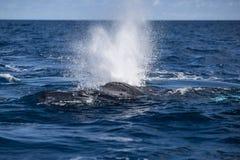 Humpback wieloryba cios przy powierzchnią obraz stock