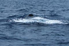 Humpback wieloryba ciosu dziura zdjęcia royalty free