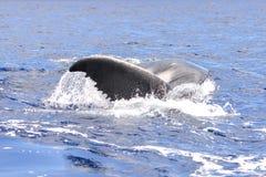 Humpback wieloryba dopłynięcie, ogon zdjęcie royalty free
