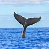 Humpback wieloryba dopłynięcie, ogon fotografia stock