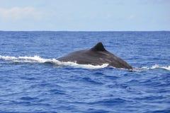 Humpback wieloryba dopłynięcie, plecy obrazy stock