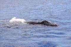 Humpback wieloryba dopłynięcie, plecy zdjęcia stock