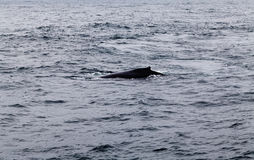 Humpback wieloryba dopłynięcie W Monterey zatoce Kalifornia Obrazy Stock