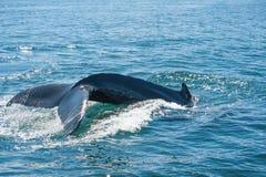 Humpback wieloryba żebro Zdjęcia Stock