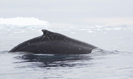 Humpback wieloryba żebro Obrazy Royalty Free