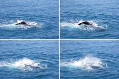 Humpback wieloryba falowania ogonu montażu Hervey zatoka Zdjęcie Stock
