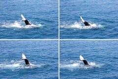 Humpback wieloryba falowania ogonu montażu 4 Hervey zatoka Fotografia Royalty Free
