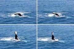 Humpback wieloryba falowania ogonu montażu 3 Hervey zatoka Obraz Stock