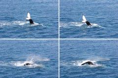 Humpback wieloryba falowania ogonu montażu 2 Hervey zatoka Obraz Royalty Free