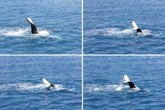 Humpback wieloryba falowania ogonu montażu 1 Hervey zatoka Obraz Royalty Free